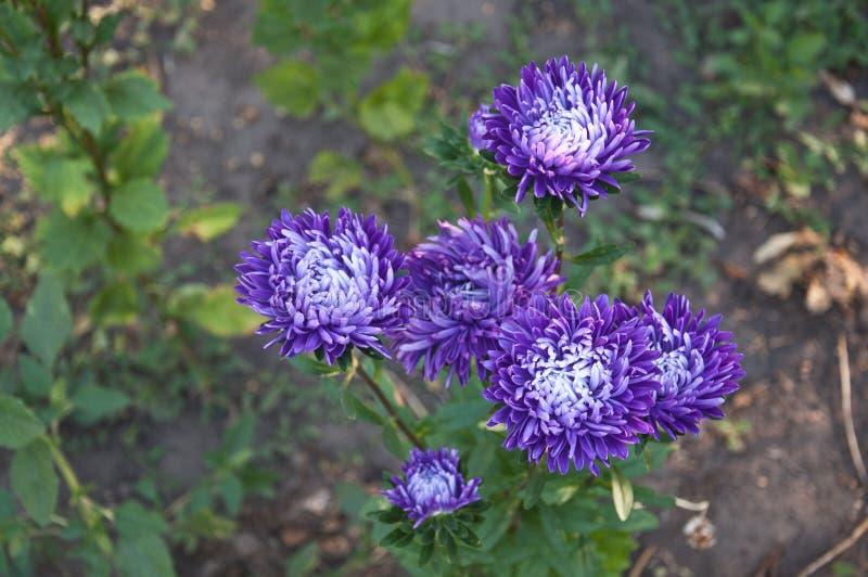 Un certain pourpre fleurit (le chrysanthème) images stock