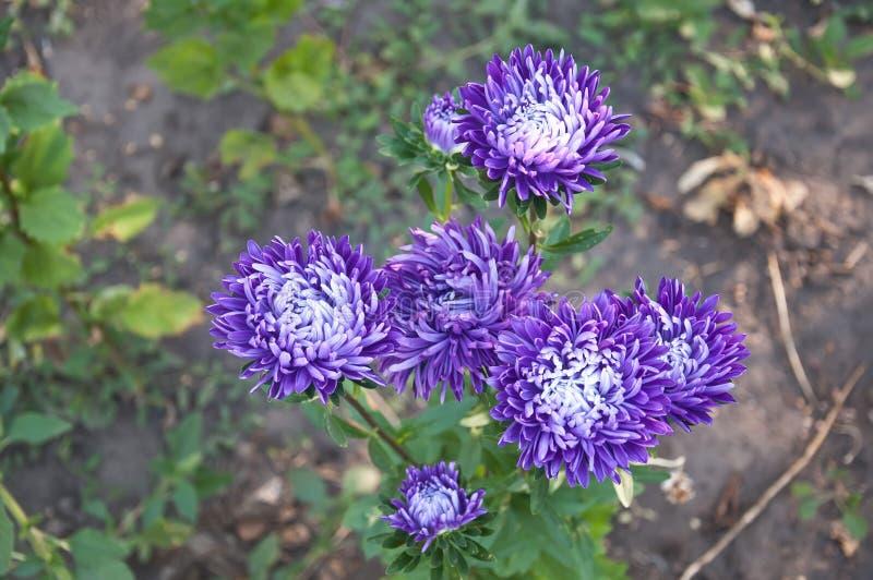 Un certain pourpre fleurit (le chrysanthème) photos stock