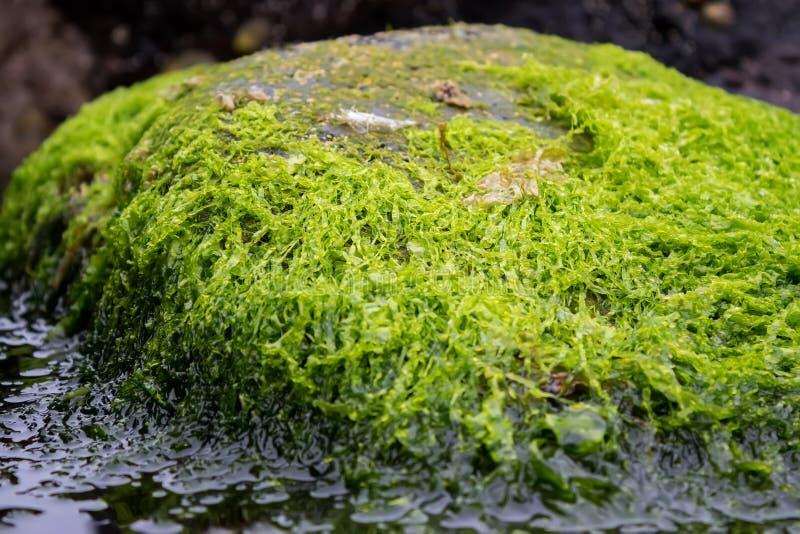 Un certo genere di alga su una roccia immagini stock