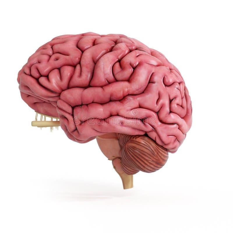 Un cervello umano realistico illustrazione vettoriale
