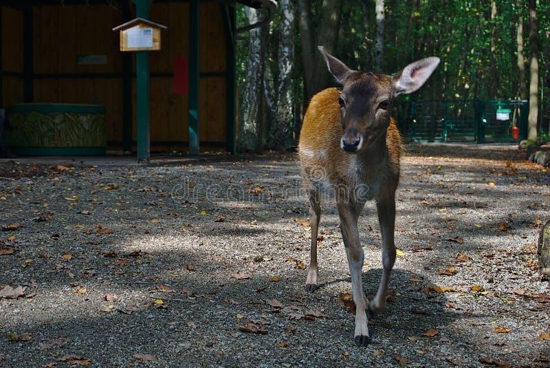 Un cervo curioso fotografie stock libere da diritti