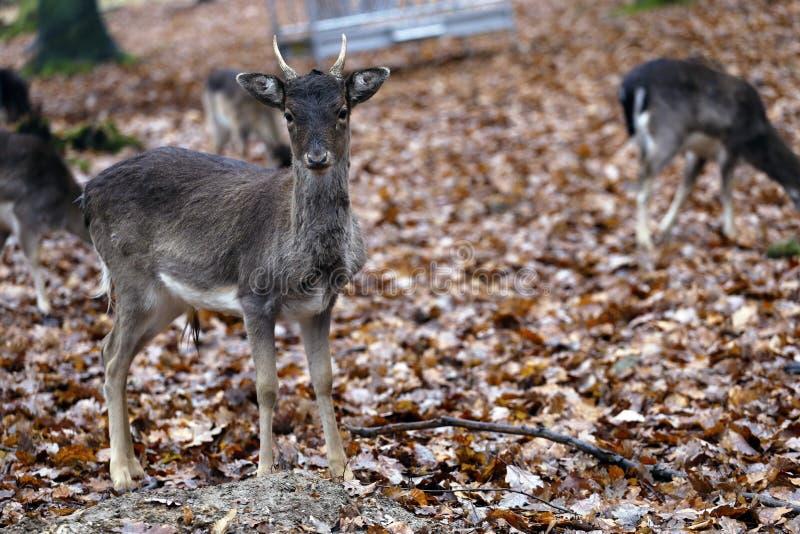Un cervo curioso fotografia stock