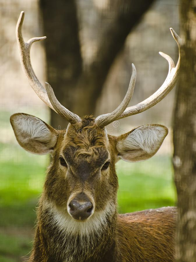 Un cervo del sambar fotografia stock libera da diritti