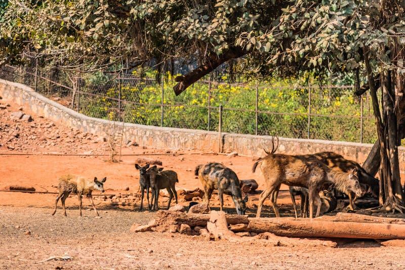 Un cervo del sambar scherza il gruppo che pasce il giorno soleggiato in parco pubblico immagini stock