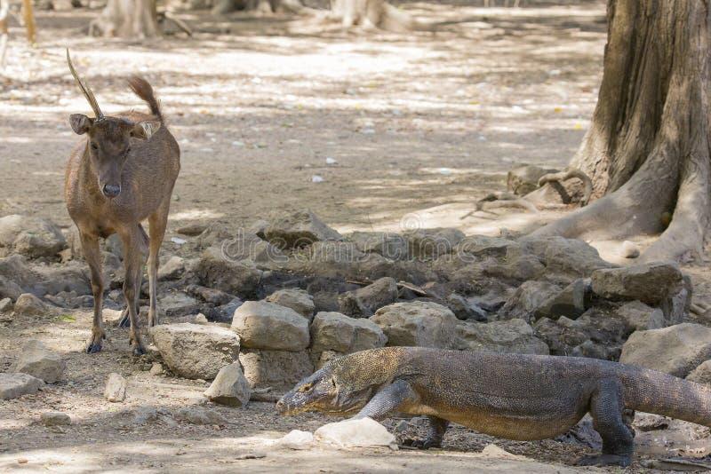 Un cervo di Timor guarda un drago di Komodo immagini stock
