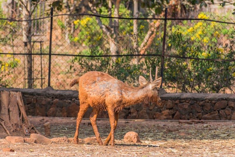 Un cervo fangoso del sambar scherza la camminata il giorno soleggiato in parco pubblico immagine stock libera da diritti