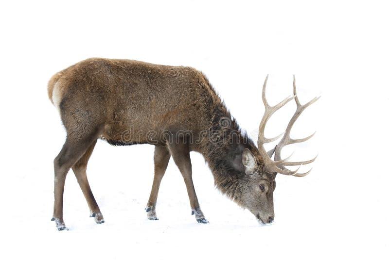 Un cervo nobile isolato su fondo bianco che si alimenta nell'inverno nevica nel Canada immagine stock
