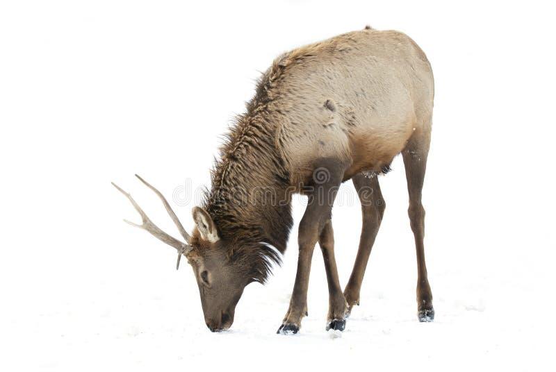 Un cervo nobile isolato su fondo bianco che si alimenta nell'inverno nevica nel Canada fotografie stock