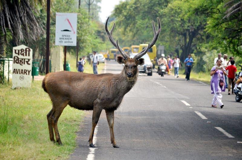 Un cervo Rusa del sambar monocolore fotografia stock libera da diritti