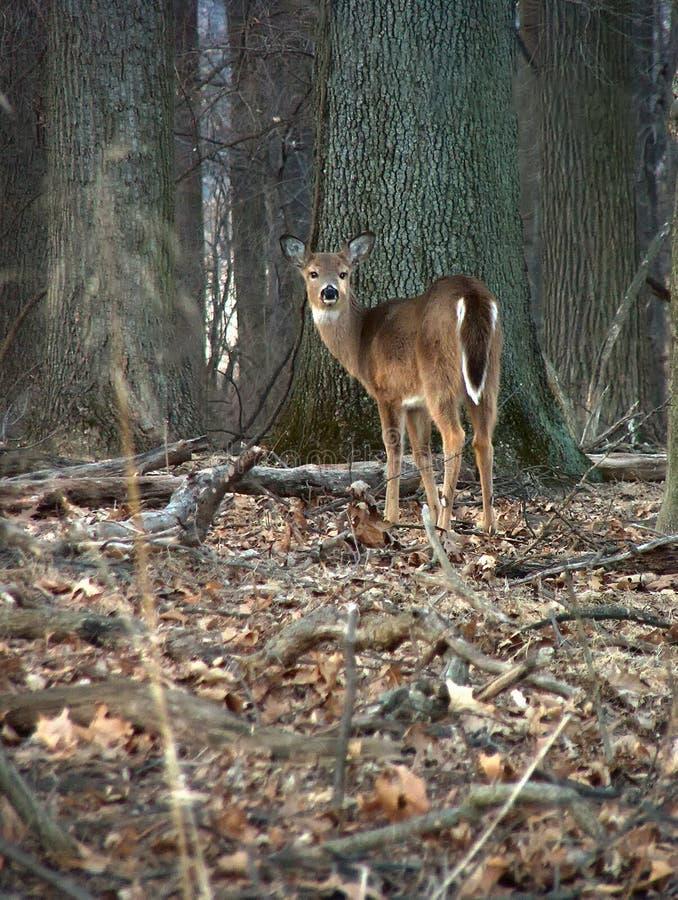 Un cervo solitario nel legno fotografia stock libera da diritti