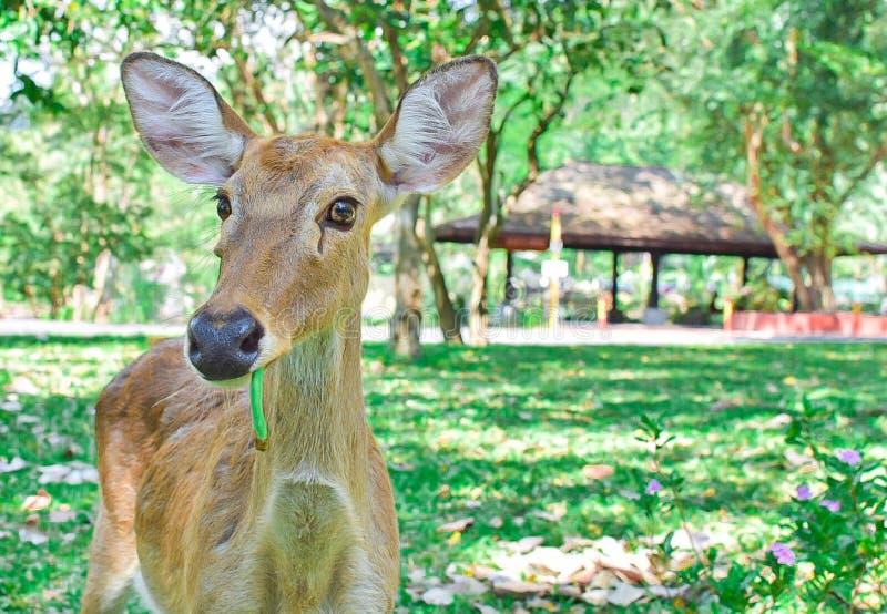 Un cervo sta stando sul campo verde fotografia stock