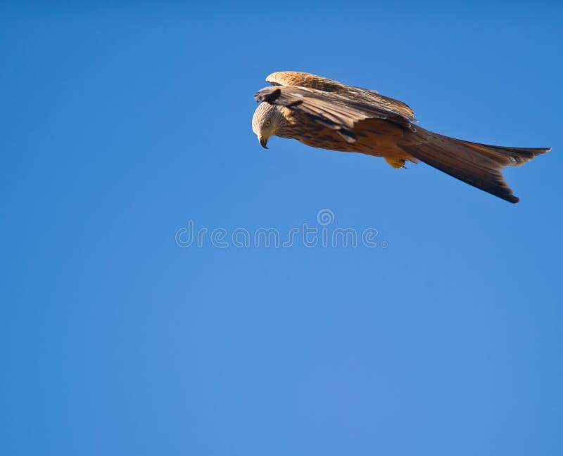 Un cervo volante rosso nel basamento tranquillo fotografie stock