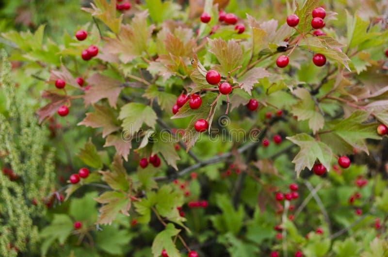 Un cespuglio con i lotti delle bacche rosse sui rami, fondo autunnale del Cotoneaster Cespugli selvaggi di autunno variopinto del fotografia stock