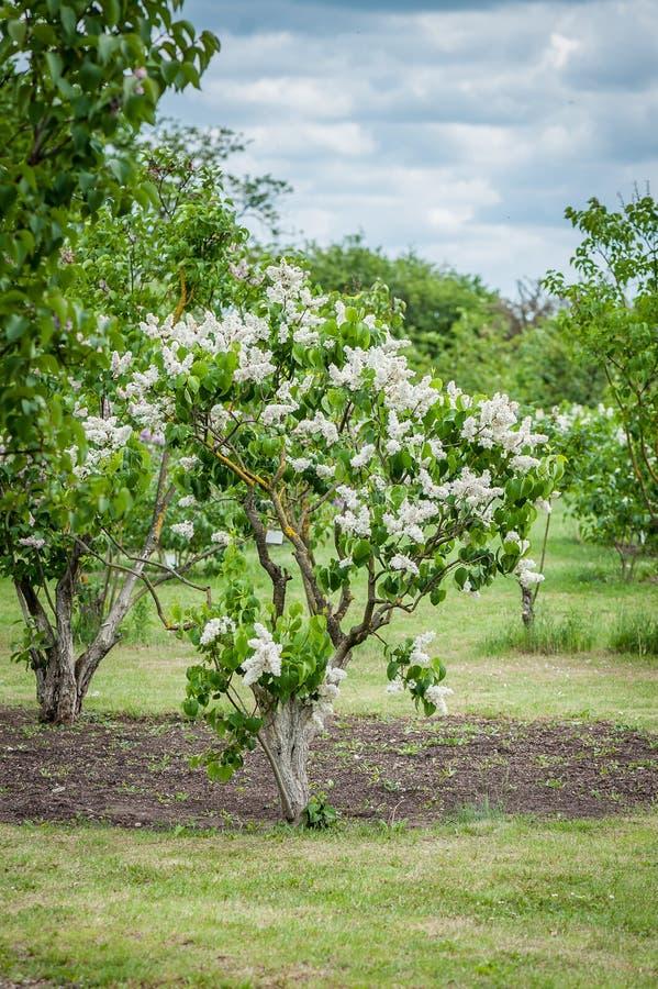 Un cespuglio del lillà bianco nel parco fotografie stock libere da diritti