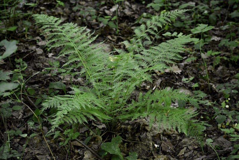Un cespuglio della felce si sviluppa in una foresta fotografia stock
