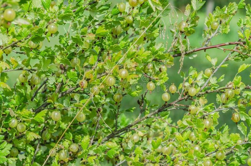 Un cespuglio delle bacche giallo verde mature dell'uva spina con un gusto magnifico immagine stock