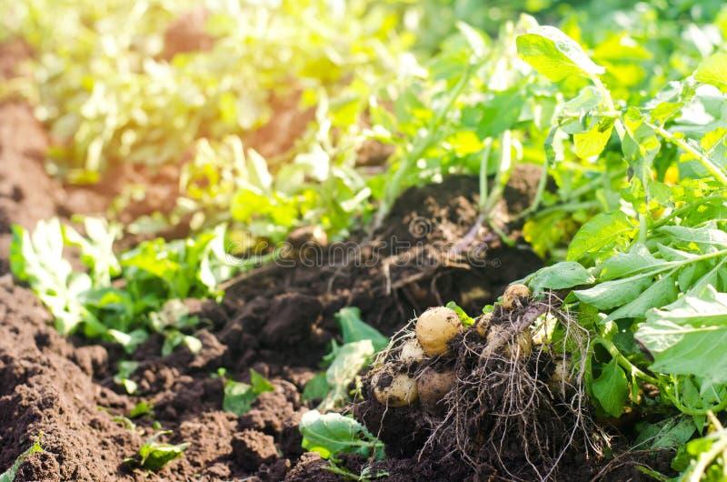 Un cespuglio di giovani patate gialle, raccogliente, ortaggi freschi, agro-cultura, coltivante, primo piano, buon raccolto, disin immagine stock libera da diritti