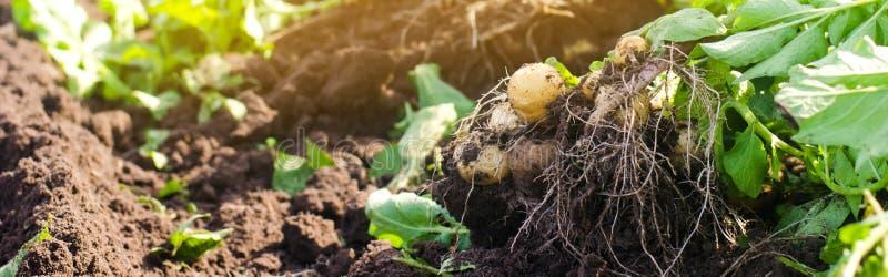 un cespuglio di giovani patate gialle, raccogliente, ortaggi freschi, agro-cultura, coltivante, primo piano, buon raccolto, disin immagine stock