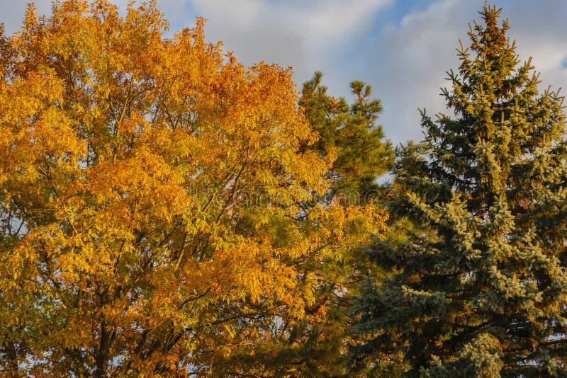 Un chêne énorme avec les feuilles d'automne d'or au coucher du soleil contre un ciel bleu À la droite du chêne élève le sapin ble images stock