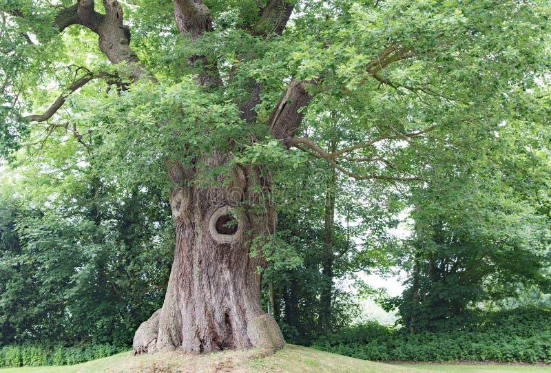 Un chêne célèbre vis-à-vis de l'hôtel de château de Peckforton, dans Cheshire image stock