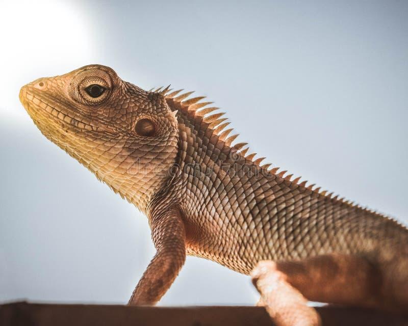 Un Chamaleon - lagarto del jardín imagenes de archivo