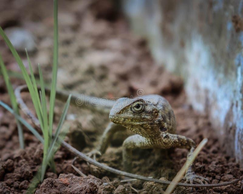 Un Chamaleon - lagarto del jardín imagen de archivo libre de regalías