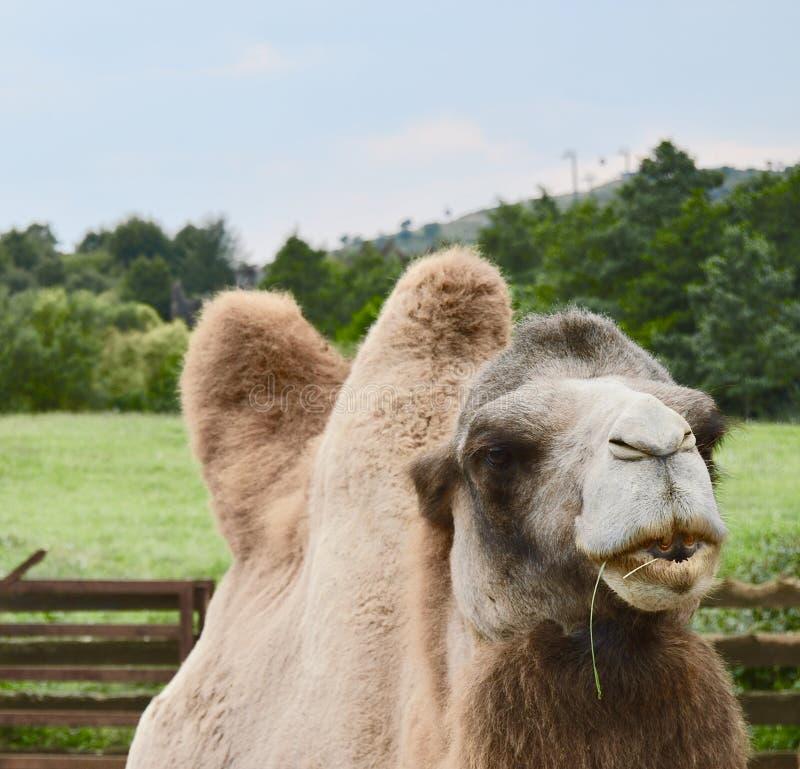 un chameau mangeant en nature images stock