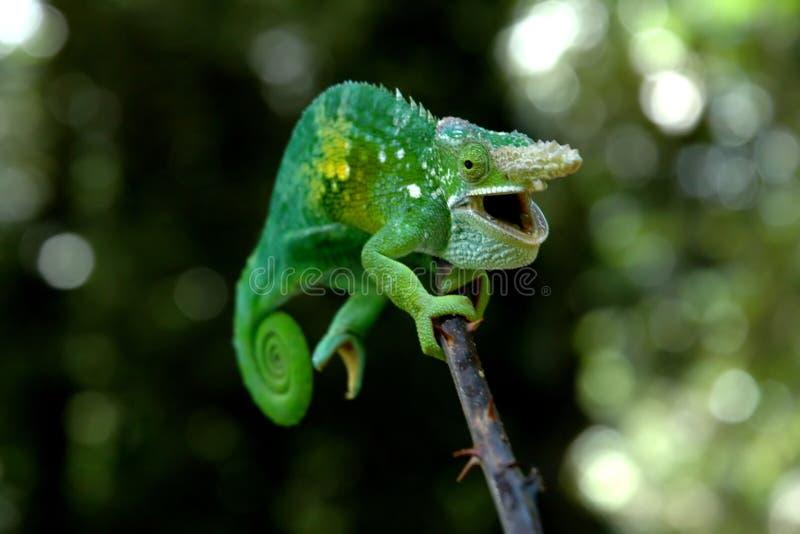 Un chameleon immagini stock