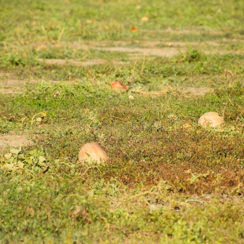 Un champ abandonné des pastèques et des melons Pastèques putréfiées photo stock