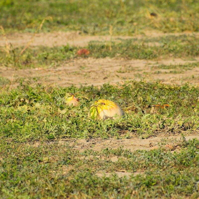 Un champ abandonné des pastèques et des melons Pastèques putréfiées image libre de droits