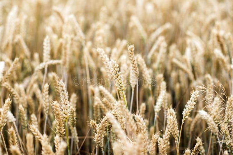 Un champ avec des céréales Un champ avec des céréales images libres de droits