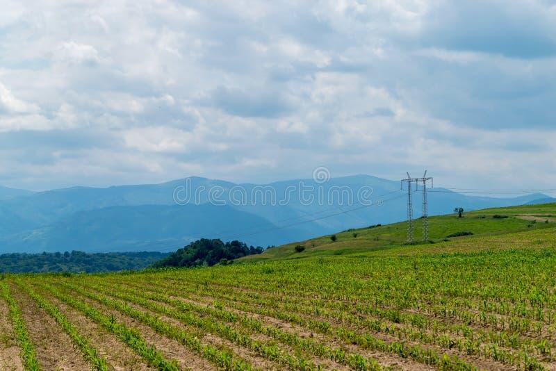 Un champ avec du maïs dans le jour d'été photo libre de droits
