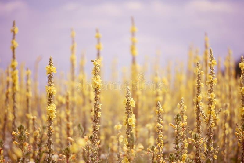 Un champ avec les fleurs jaunes de floraison luxuriantes paysage de région sauvage d'été photo stock