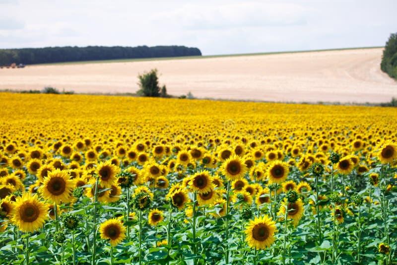 Un champ avec les tournesols et les collines de floraison jaunes lumineux avec des champs de blé contre un ciel bleu image stock