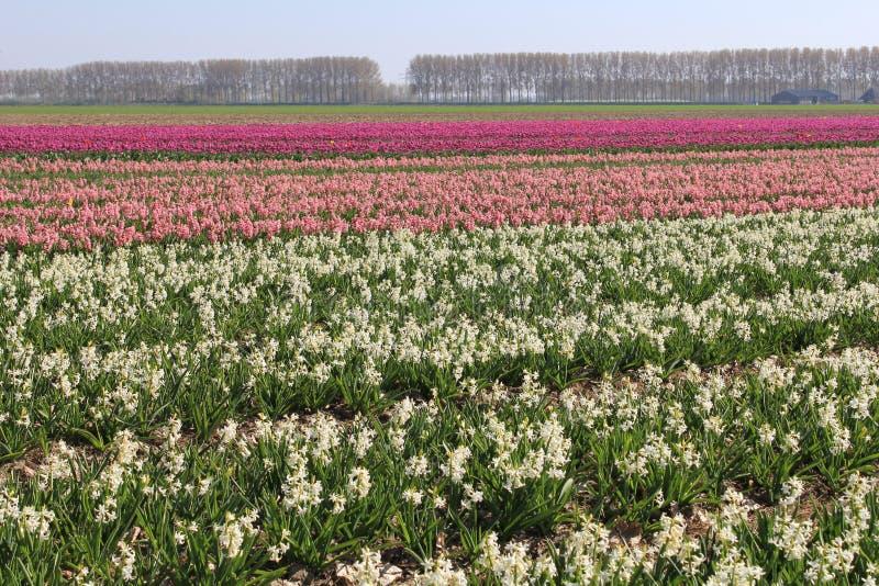 Un champ avec les usines fleurissantes de jacinthe dans le polder en Hollande images stock