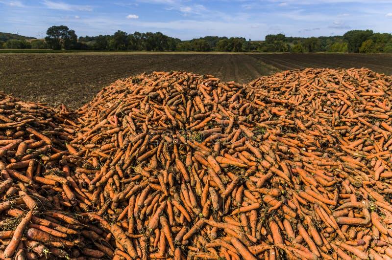 Un champ avec une montagne ou une pile des carottes moissonnées, au CCB photo libre de droits