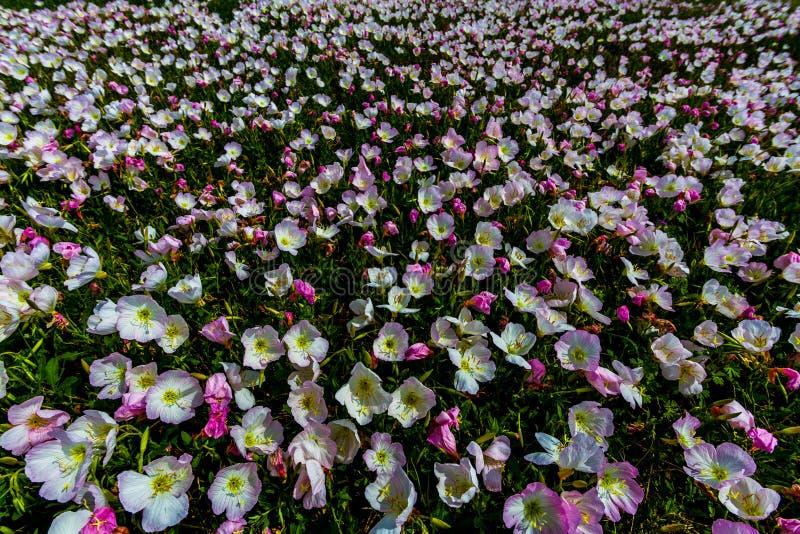 Un champ couvert dans l'oenothère biennale rose, Texas Wildflower photos stock