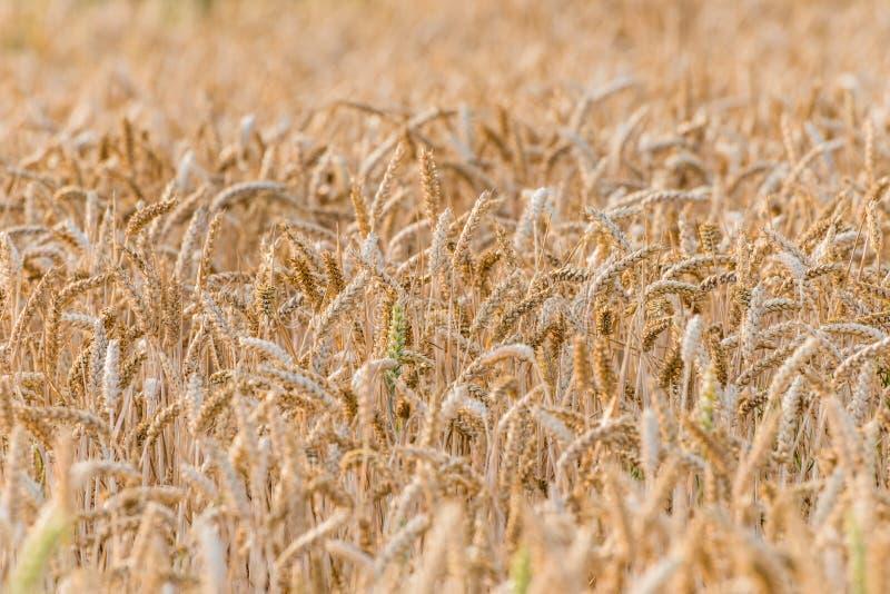 Un champ d'or avec du blé de maturation image libre de droits