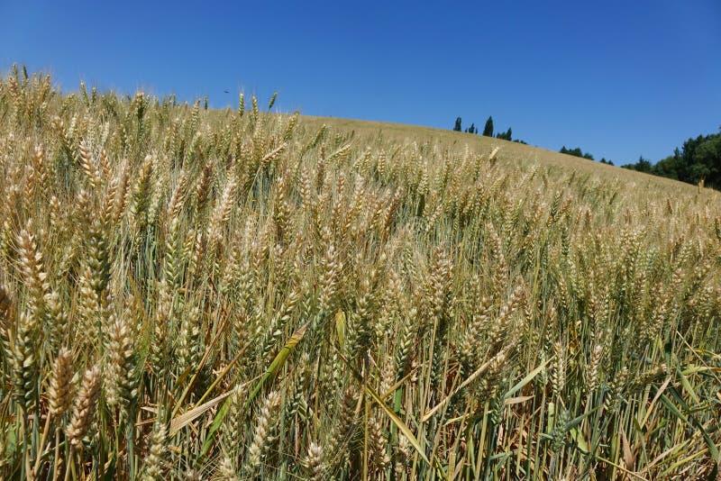 Un champ de blé en Idaho du nord photos libres de droits