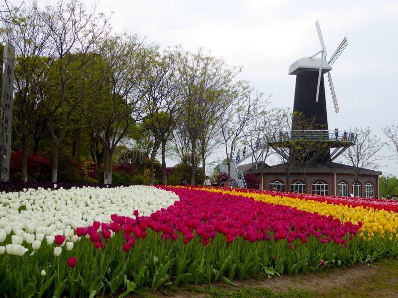Un champ de la floraison colorée de tulipes photo stock