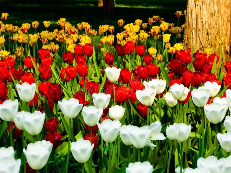 Un champ de la floraison colorée de tulipes photos libres de droits
