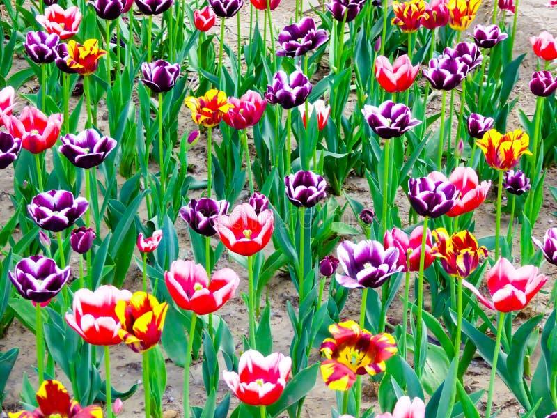 Un champ de la floraison colorée de tulipes image stock