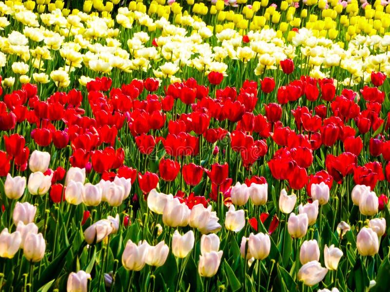 Un champ de la floraison colorée de tulipes image libre de droits