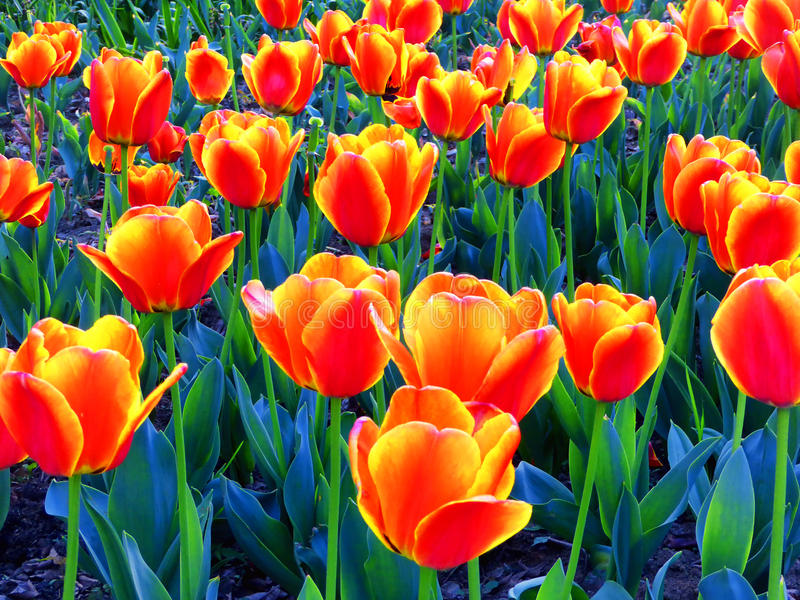 Un champ de la floraison orange de tulipes photos stock