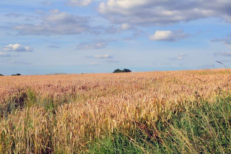Un champ de maïs image libre de droits