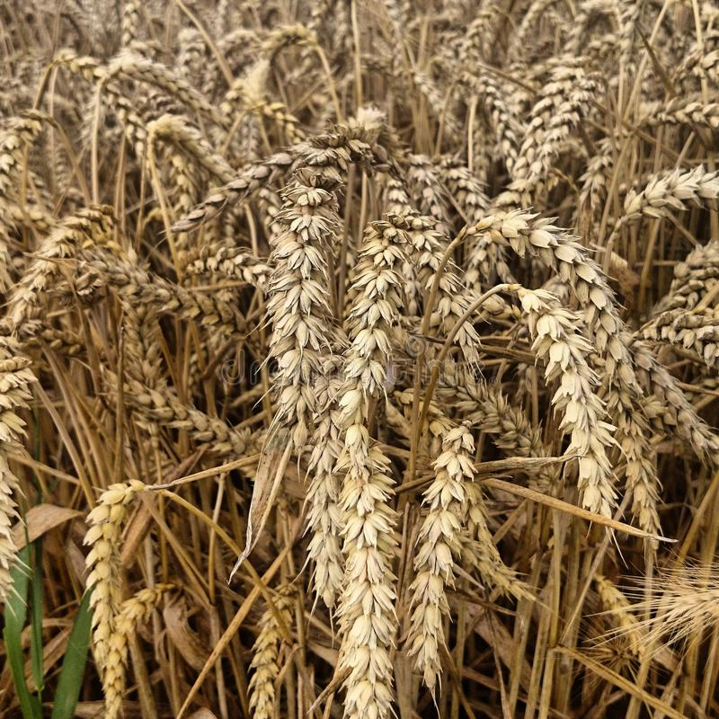 Un champ de maïs photographie stock