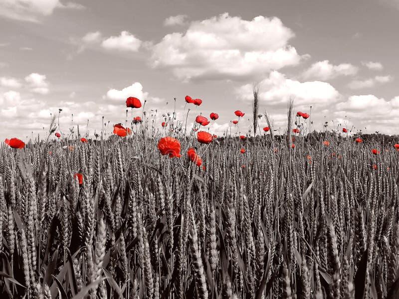 Un champ de maïs avec des chiots en noir et blanc avec un accent de couleur photos stock
