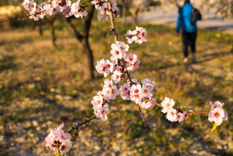 Un champ des arbres d'amande de floraison Profondeur de zone images libres de droits