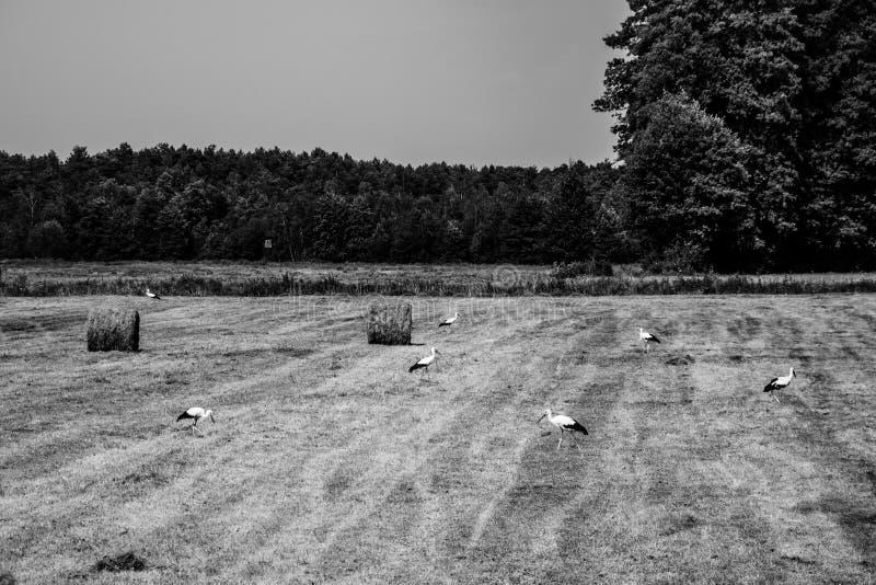 Un champ des cigognes photo libre de droits