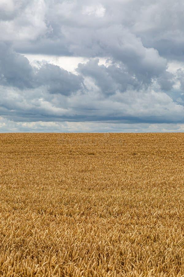 Un champ des cultures de céréale photo stock